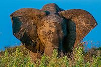 A muddy elephant, Kwando Concession, Linyanti Marshes, Botswana.