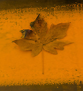 Orange colored rust surrounds a brown decaying maple leaf that rests in rain water in a steel tank