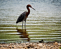 Reddish Egret (Egretta rufescens). Kralendijk, Bonaire. Image taken with a Nikon D3s camera and 70-300 mm VR lens.