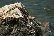 Santa Cruz Garter Snake, Thamnophis atratus atratus