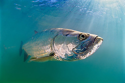 Atlantic tarpon, Megalops atlanticus, grows up to 2 m (6.6 ft) in length and could weigh 160 kg (350 lb), Islamorada, Florida Keys National Marine Sanctuary, Florida, USA, Atlantic Ocean