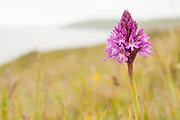 Pyramidal Orchid (Anacamptis pyramidalis). Dorset, UK