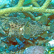 Baloonfish inhabit reefs to seagrass to mangroves, often rest on bottom blending with background in Tropical West Atlantic, also circumtropical; picture taken Grand Cayman.