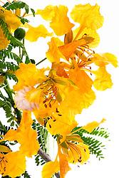 Yellow Poinciana#14