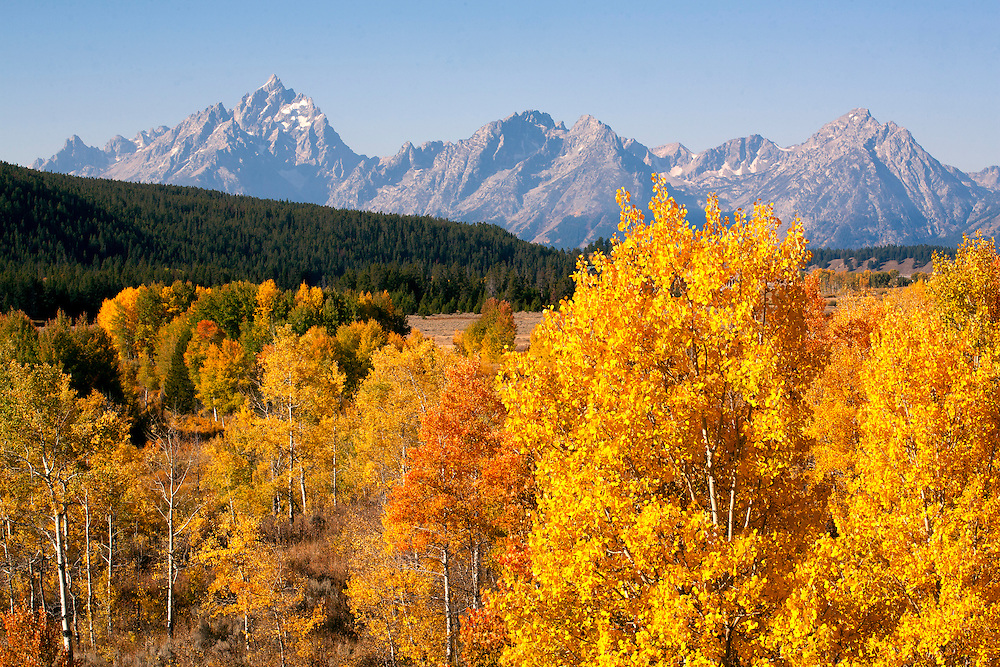 Colorful aspen forests paint the foreground of the Grand Tetons, Grand Teton NP, Wyoming.