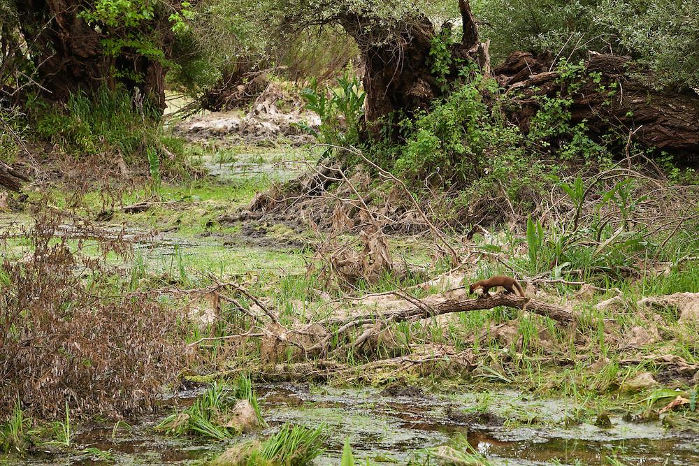 Pine marten (Martes martes) foraging through softwood forests during low-tide, Gornje Podunavlje Special Nature Reserve, Serbia