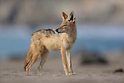 Black-backed jackal (Canis mesomelas) Tsau-ǁKhaeb-(Sperrgebiet)-Nationalpark, Namibia | Schabrackenschakal (Canis mesomelas) Sperrgebiet National Park, Namibia