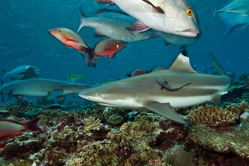 A Black tip Reef Shark, Carcharhinus melanopterus, swims in the shallows of Shark Reef Marine Reserve, a shark sanctuary, offshore Pacific Harbor, Viti Levu, Fiji
