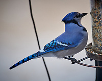 Blue Jay at the Bird Feederl. Image taken with a Nikon D5 camera and 600 mm f/4 VR lens (ISO 3200, 600 mm, f/5.6, 1/400 sec).