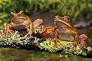 Purple Barred Tree Frog, Hyla raniceps, Venezuela, Colombia, cold-blooded frogs outdoors tree-frog tree-frogs wild. Purple Barred Treefrog (Hyla raniceps). Jack Milchanowski. amphibian. amphibians. animal. animals. cole-blooded. ecological. ecology. frog.
