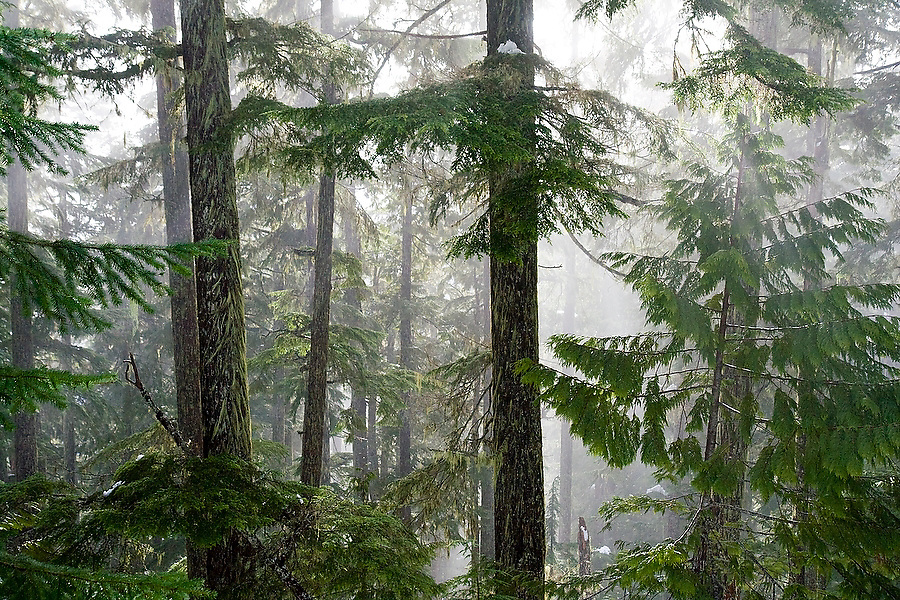 Early morning sun shines through the mist in the pine forest along the Thornton Lakes Trail in North Cascades National Park, Washington.