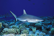 gray reef shark, Carcharhinus amblyrhynchos, swimming over coral reef, Bikini Atoll, Marshall Islands, Micronesia ( Pacific Ocean )