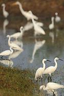 Little egret, Egretta garzetta, and Great white egret, Casmerodius albus, Pulicat Lake, Tamil Nadu, India