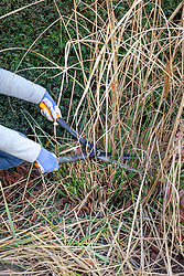Cutting back miscanthus with shears in early spring