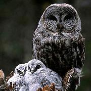 Great Gray Owl, (Strix nebulosa)  Adult on nest with chicks. Montana.