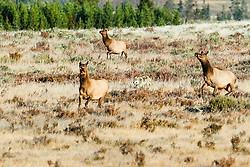 Wolf chasing elk, Yellowstone National Park. Before the reintroduction of wolves into Yellowstone there was an over population of elk. Wolves have now reduced the numbers greatly.<br /> <br /> Wolf Chase story<br /> http://www.the-hole-picture.com/articles/Wolf-Chase.html
