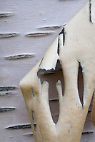 Peeling bark from silver birch tree, Sarek National Park, Laponia World Heritage Site, Sweden