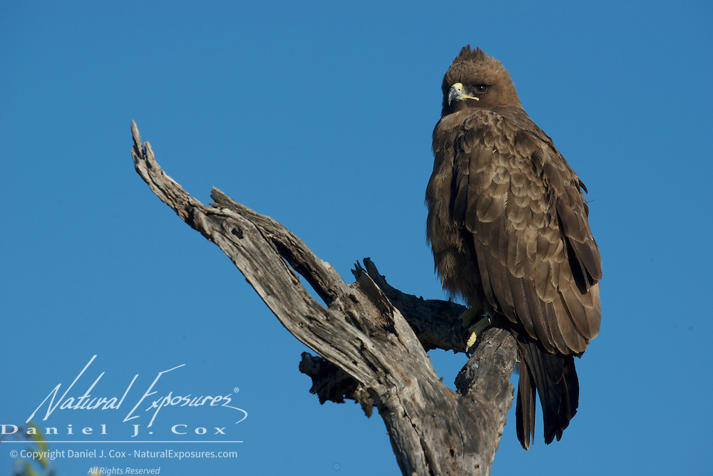 Wahlberg's Eagle, Malamala Game Reserve, South Africa.
