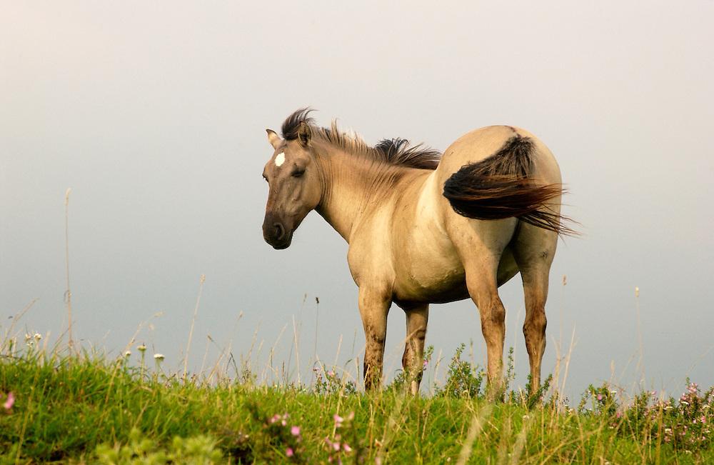 Nederland, Ravenswaay, 23 juli 2004.Konikpaarden langs de rivier de Lek. Natuurbeheer. Paarden houden op een natuurlijke manier de begroeiing kort..Natuurgebied..Foto (c) Michiel Wijnbergh/HH