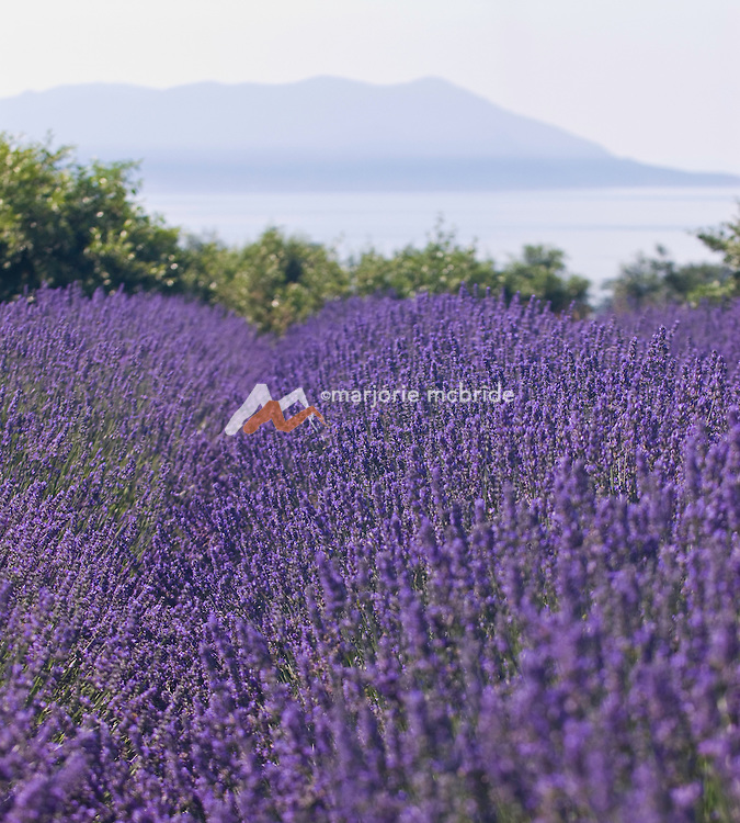 Lummi Island, Washington, San Juan Islands. Lavender field with view of Orcas Island and bay from Pheasant Valley Farms.