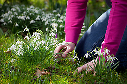 Dividing snowdrops in the green. Digging up