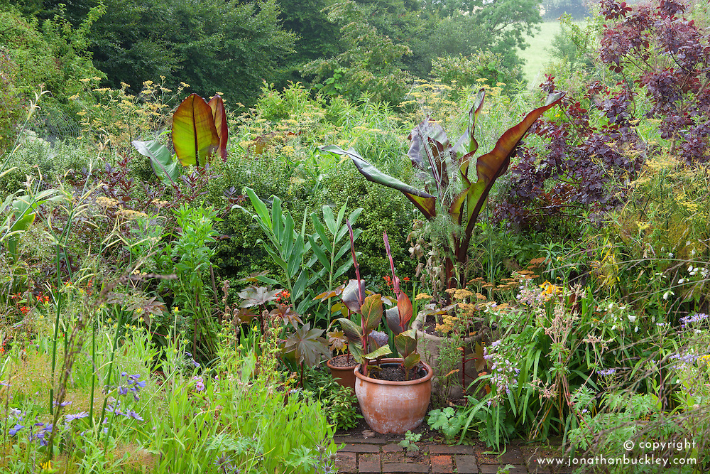 Bananas and cannas in pots in the brick garden at Glebe Cottage