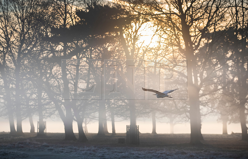 © Licensed to London News Pictures. 14/02/2019. London, UK. A heron flies low at first light in Bushy Park. Clear skies and warmer temperatures are expected in the south later today. Photo credit: Peter Macdiarmid/LNP