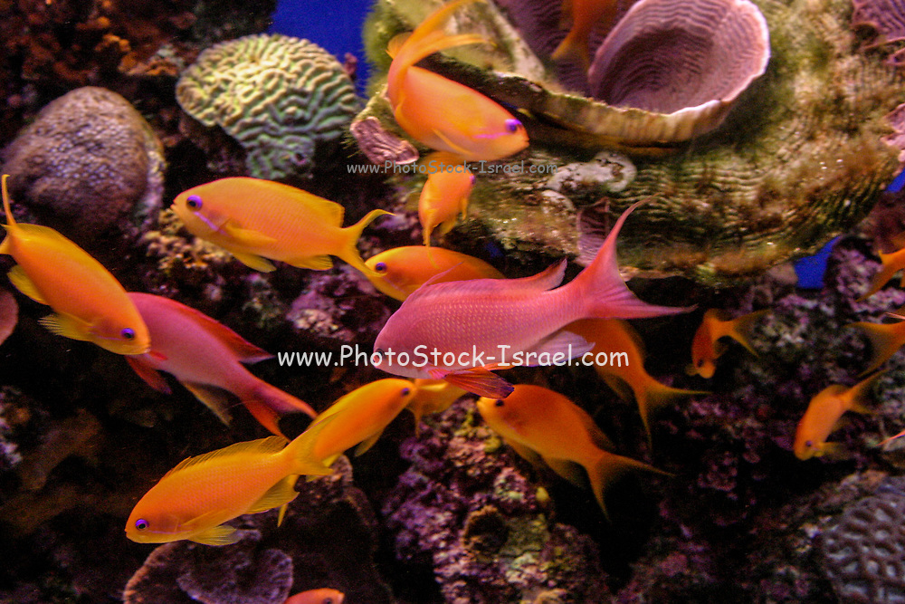 Underwater photograph of Pseudanthias squamipinnis (Sea goldies, lyretail coralfish, lyretail anthias, scalefin anthia, goldfish) at a Coral reef in the Red Sea Eilat, Israel