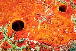 red boring sponge, Cliona delitrix, Key Largo, Florida Keys National Marine Sanctuary, Atlantic Ocean
