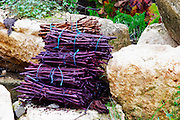 Domaine Haut-Lirou in St Jean de Cuculles. Pic St Loup. Languedoc. Bunches of vine twigs branches used inside a fermentation tank as a crude filter when emptying the tank. France. Europe.