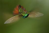 Green-breasted mango hummingbird, Anthracothorax prevostii. Rancho Naturalista, Turrialba, Costa Rica