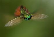Green-breasted Mango Hummingbird, Anthracothorax prevostii