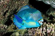 Pacific steephead parrotfish, Chlorurus microrhinos, terminal male phase, sleeping in reef at night, <br /> Ribbon Reefs, Great Barrier Reef, Australia ( Pacific Ocean )
