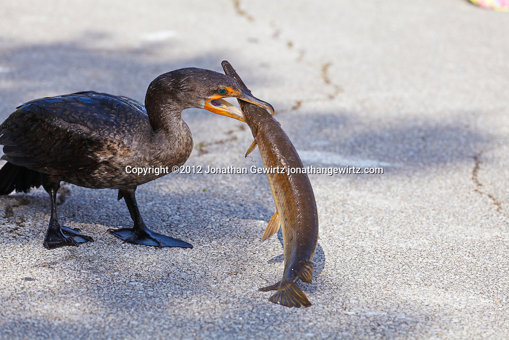 A Double-crested Cormorant (Phalacrocorax auritus) prepares to eat a large fish that it has caught. Anhinga Trail, Everglades National Park, Florida. WATERMARKS WILL NOT APPEAR ON PRINTS OR LICENSED IMAGES.