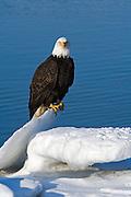 Bald Eagle, Haliaeetus leucocephalus, sitting on iceberg, Kenai Peninsula, Homer Spit, Homer, Alaska. Digital original, #2006_0618 ©Robin Brandt