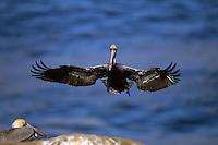 Brown pelican (Pelecnus occidentalis) in flight.  La Jolla, California.  Dec 2000.