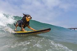 July 29, 2017 - Imperial Beach, CA, US - Surfdog returns to Imperial Beach for the twelfth  year...Abbie girl surfing. (Credit Image: © Daren Fentiman via ZUMA Wire)