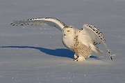 Snowy Owl (Nyctea scandiaca) walking on snow covered ground, Quebec, Canada