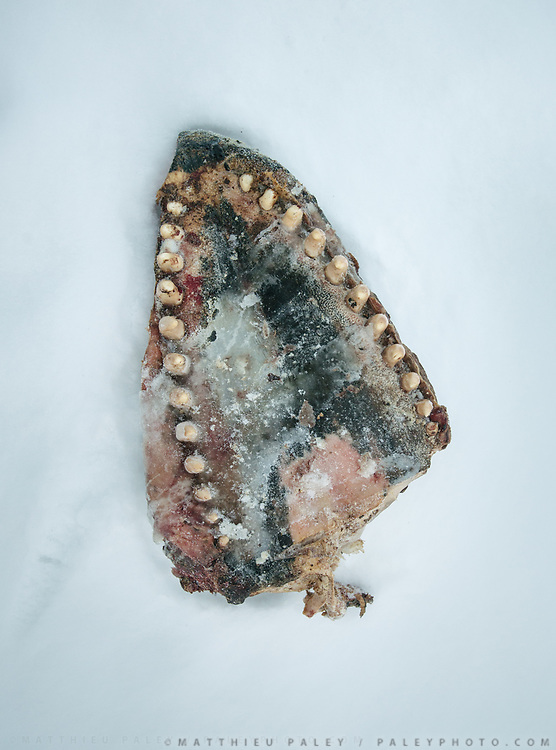 Jaw of a mink whale. Bent Igniatiussen is getting food for his family as well as for his sled dogs, in a wodden box placed at the edge of the settlement. Life in and around the small Inuit settlement of Isortoq (population of 64), in East Greenland.