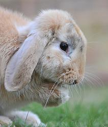 A domesticated pet rabbit.