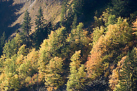 Vine Maple and Douglas Maple paint autumn color on a steep slope below a volcanic columnar basalt cliff in Stevens Canyon, Mount Rainier National Park, Washington, USA