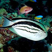 Blackstripe Angelfish inhabit reefs; picture taken Lembeh Straits, Sulawesi, Indonesia