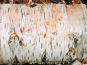 A fallen birch log peels and decomposes in Tahquamenon Falls State Park, Michigan, USA.