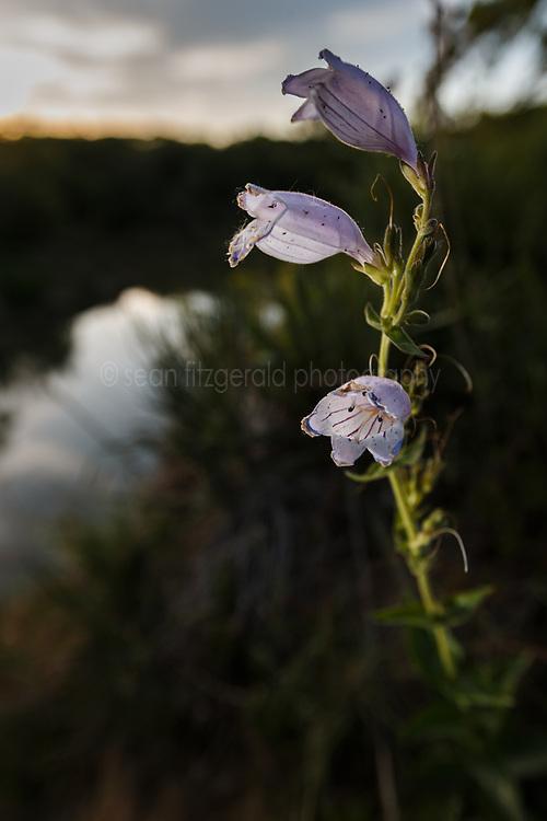 Foxglove penstemon wildflowers on McCommas Bluff above Trinity River, Great Trinity Forest, Dallas, Texas, USA