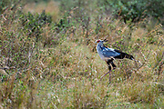 Secretary Bird (Sagittaria serpentaria) searching for snakes in Maasai Mara, Kenya