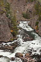The Firehole River flows through a narrow canyon in an area where a few trees were spared from the fires of 1987 when large portions of Yellowstone National Park were consumed by wildfilre.  Wyoming, USA   The Firehole River flows north 21 miles from its source in Madison Lake on the Continental Divide to join the Gibbon River to form the Madison River.  The Firehole flows through several significant geyser basins in the park.  The river was named by early trappers for the steam that makes it appear to be smoking as if on fire....The river is surrounded by geothermal features which empty water into it. One effect of the input of this water is to increase the temperature of the water. Temperatures in the river have been measured as high as 30 °C (86 °F) and average 5 to 10 °C (9 to 18 °F) higher than areas upstream of geothermal influence.[4]...Firehole River has been a fishing mecca since the late 19th century and is known today for its excellent fly fishing.