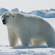 A female polar bear dazed and weak from an immobilizing drug she received from Dr. Steve Amstrup, USGS biologist. Beaufort Sea ice pack, Kaktovik, Alaska