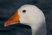Domestic goose, raised for farmyard use, swimming on the River Cowes.....From Wikipedia, the free encyclopedia......Embden Geese according to the records are not a very old breed, only being cited for around 200 years. The origins of this breed are thought to be from Northern Europe, in Holland and Germany. The eminent authority, Lewis Wright, was of the opinion that they originated from the town of Emden in Lower Saxony, Germany, although another source, namely Edward Brown, in ??Race of Domestic Poultry?? believed that the breed was created by crossing the German White with the English White and then, by a process of careful selections, creating the goose as it is today. Others suggest that the English Embden?s great weight and size was produced by selective breeding with the Toulouse breed, which was then bred out leaving the large size of this breed...