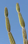 Plants of candelabra cactus (Jasminocereus thouarsii var. thouarsii), a plant endemic to Galapagos. Puerto Baquerizo Moreno, San Cristobal, Galapagos, Ecuador