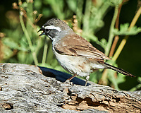 Black-throated Sparrow (Amphispiza bilineata). Campos Viejos, Texas. Image taken with a Nikon D4 camera and 500 mm f/4 VR lens.